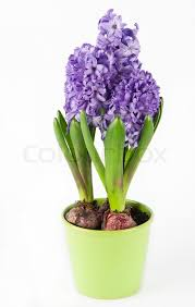 Hyacinth Flower Spring Hyacinth Flower In Pot Stock Photo Colourbox