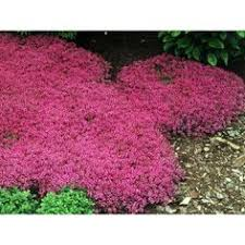 10 Perennials That Thrive In by 10 Perennials That Thrive In The Sun Creeping Phlox Ground