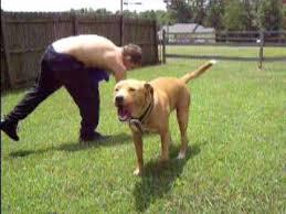 american pitbull terrier size chart labrabull pitador the labrador retriever and american pit bull