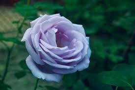 Lavender Roses A Lavender Rose By Bogdanici On Deviantart