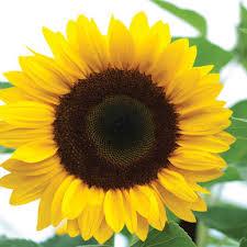 sunrich orange f1 sunflower seed johnny s selected seeds