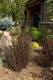 27 best ninebark burningbush images on pinterest shrubs