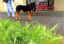 foxtail grass can kill your seattle dogspot