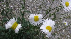 look u0027mutant daisies u0027 grow in fukushima youtube