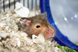 Best Bedding For Rats Hamster Bedding And Litter Petcha