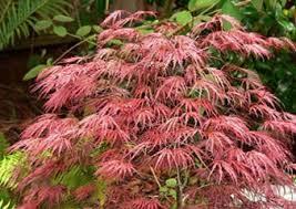 japanese maples 5 favorite trees to grow gardenista