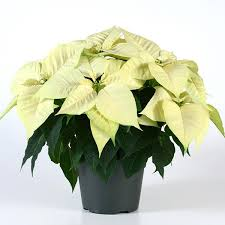 white poinsettia christmas feelings white poinsettia