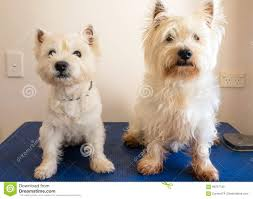 dog grooming tables for small dogs two west highland white terrier westie dogs on grooming table stock