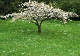 blossom trees for small gardens photo by cherry blossom best