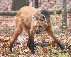 maned wolf wikipedia