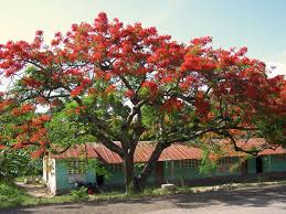 the flamboyamt tree you can see these trees all the country