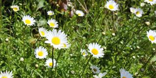 edible wild food ox eye daisies eden project cornwall