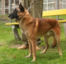 belgian shepherd history file malinois rybnik kamien pl jpg wikimedia commons