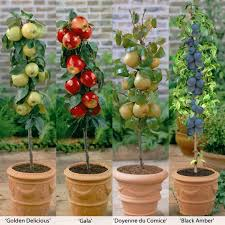 columnar fruit trees create an orchard on your own patio