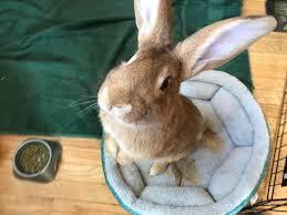 rabbits the intelligent loving and often misunderstood pet