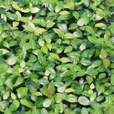 Backyard Ground Cover Options Ice Plant Used As Groundcover In South Florida For Areas That