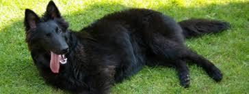 belgian sheepdog gif belgian shepherd groenendael dog puppy dog gallery