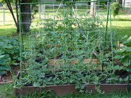 growing watermelon cucumber and melons vertically permaculture