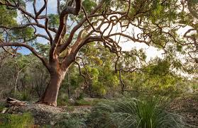 australian native plants pictures scribbly gum australian native plants nsw national parks