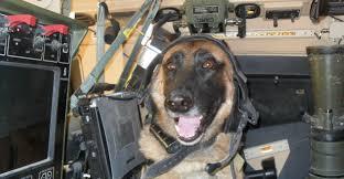 belgian shepherd us army the fight to allow military working dogs to u0027retire u0027 on u s soil