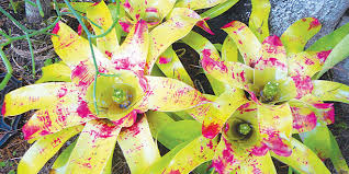 bromeliads in the south florida landscape coastal breeze news