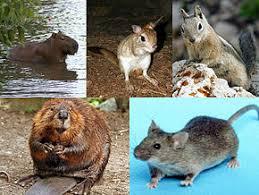rodent wikipedia
