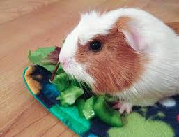 All Living Things Luxury Rat Pet Home by 10 Things You Need To Get Before Adopting A Guinea Pig Pethelpful