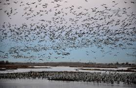 nebraska u0027s sandhill cranes star in great migration startribune com