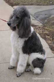 poodles long hair in winter standard poodle dog breed information and pictures