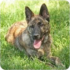 australian shepherd australian cattle dog mix travis siar foster adopted puppy santa rosa ca australian