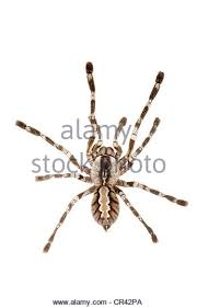 ornamental tarantula stock photos ornamental tarantula stock