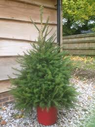 dug and potted norway spruce cotley christmas click u0026 collect