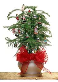christmas tree plant poinsettia diy live christmas tree water