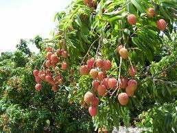 lychee fruit inside exotic fruit trees lychee fruit tree