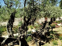 olive tree horticulture