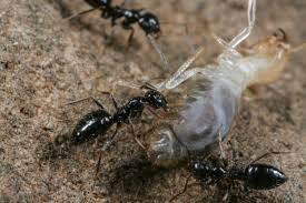 ant overlords supercolony in ethiopian forests set to invade globe