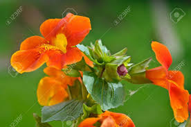 monkey flowers bunch of orange monkey flowers with a bud stock photo picture and