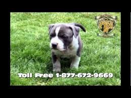 american pitbull terrier puppies for sale uk razors edge blue nose pit bulls bullies for sale puppies in el