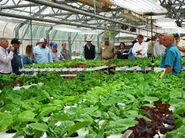 growing high value lettuce with low water use agrilife