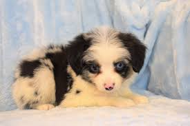 south dakota australian shepherd rescue puppies