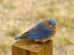 bluebird wikipedia