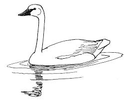 trumpeter swan sketch animals birds s swan swan 2