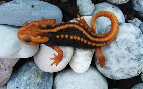 rainbow snake klingon newt among 163 newfound species