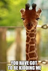Giraffe Hat Meme - no comment giraffe meme generator imgflip
