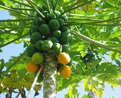 how to grow papaya growing papaya tree and care balcony garden web