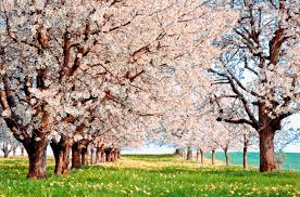 cherry blossom tree facts cherry blossom tree facts for kids my web value
