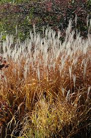 grass miscanthus sinensis purpurascens in inver grove