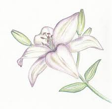 white lilly white drawing by leppik