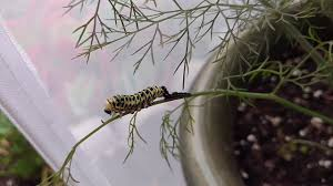 eastern black swallowtail caterpillar shedding skin