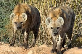 Arizona wildlife images Out of africa wildlife park in camp verde arizona jpg